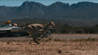 Fur flies as cheetah races electric Formula E car